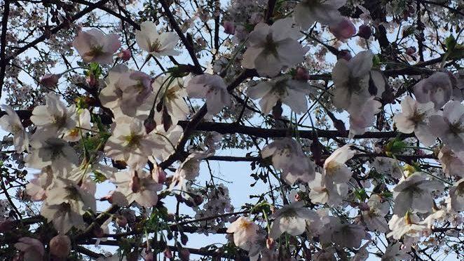 元町公園でお花見