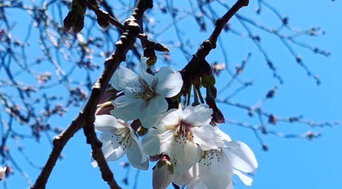 桜咲く、サロンも春の香りへ